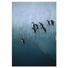 Chinstrap Penguins jumping off iceberg, Sandwich I