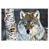 Gray Wolf (Canis lupus) portrait, Norway
