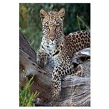 Leopard (Panthera pardus) resting, Botswana