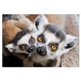 Ring-tailed Lemur (Lemur catta), portrait of adult