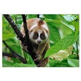 Slow Loris (Nycticebus coucang), northern Sumatra,