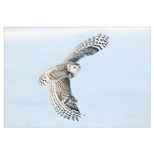 Snowy Owl (Nyctea scandiaca) flying, Casselman, On
