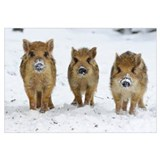 Three Wild Boar (Sus scrofa) piglets, Melle Lower,