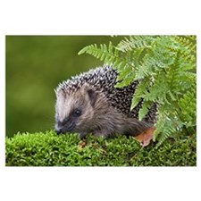 West European Hedgehog (Erinaceus europaeus) behin