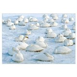 Whooper Swan group resting on the snow, Hokkaido,