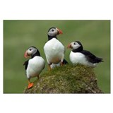 Atlantic Puffin (Fratercula arctica) group, Faroe