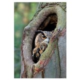 Eurasian Eagle-Owl looking out from a tree cavity,