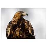 Golden Eagle (Aquila chrysaetos) portrait, Lauvsne