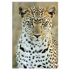 Leopard (Panthera pardus) female, Serengeti Nation