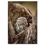 Little Owl (Athene noctua) in a hollow tree stump,