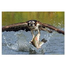 Osprey (Pandion haliaetus) catching fish, Huutijar