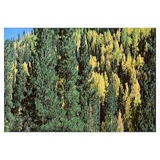 Fall Color Aspen and Ponderosa Grand Canyon Nation
