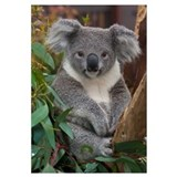 Koala (Phascolarctos cinereus), native to Australi