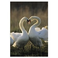 Mute Swan (Cygnus olor) pair courting, Europe