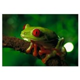 Red-eyed Tree Frog, native to tropical rainforests