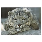 Snow Leopard portrait, mountainous regions of cent