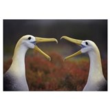 Waved Albatross courtship display sequence, Punta