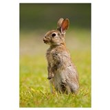 European Rabbit standing upright, Veenklooster, Fr