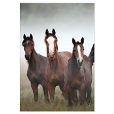 Horse trio in early morning fog, Kampina, Noord-Br