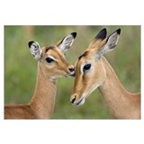 Impala fawn grooming mother, Serengeti National Pa