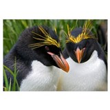 Macaroni Penguin pair, Cooper Bay, South Georgia I