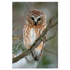 Northern Saw-whet Owl, Boucherville, Quebec, Canad