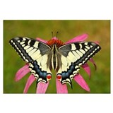 Oldworld Swallowtail butterfly on a flower, Hoogel