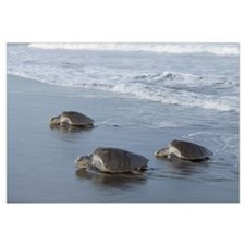 Olive Ridley Sea Turtle trio come ashore to lay eg