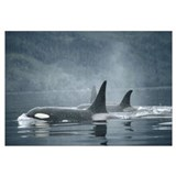 Orca Group surfacing, British Columbia