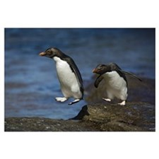 Rockhopper Penguin (Eudyptes chrysocome chrysocome