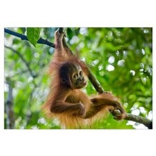 Sumatran Orangutan baby playing in tree, north Sum
