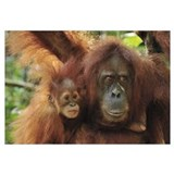 Sumatran Orangutan mother with young, Gunung Leuse