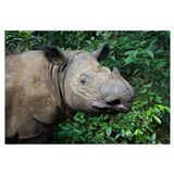 Sumatran Rhinoceros, Way Kambas National Park, Ind