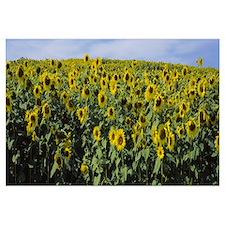 Sunflowers (Helianthus annuus) in a field, Leland,