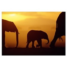 African Elephant herd with calf silhouetted at sun