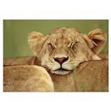 African Lion resting head on back of pride mate