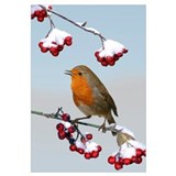 European Robin singing from Cotoneaster