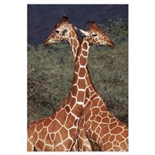 Reticulated or Somali Giraffe pair
