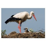 Adult Stork with chick on the nest