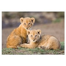 African Lion four to five week old cubs