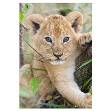 African Lion six to seven week old cub