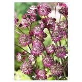 Astrantia (Astrantia sp) dark shiny eyes variety f