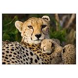 Cheetah Wall Art