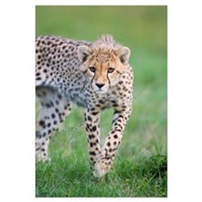 Cheetah, 6 month old cub