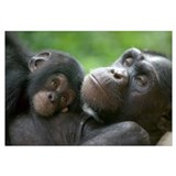 Chimpanzee adult female and infant
