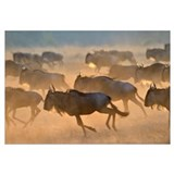 Blue Wildebeeste herd running at sunrise