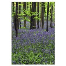 Bluebell (Hyacinthoides non-scripta) carpet in the