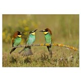 European Bee-eaters perched on branch
