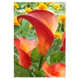 Calla Lily (Zantedeschia sp) captain safari variet