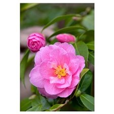 Camellia (Camellia x williamsii) donation variety